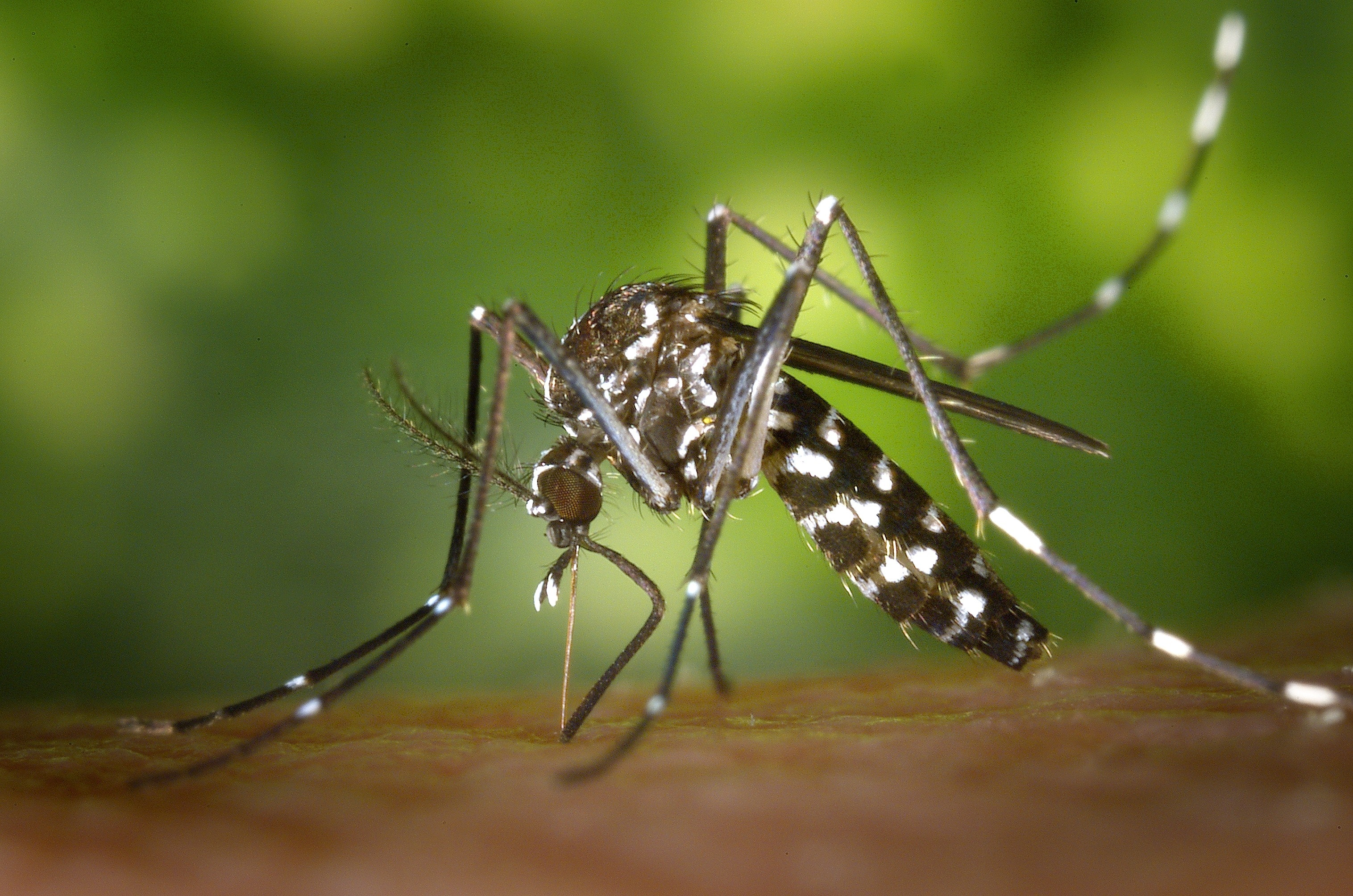 aedes albopictus asian tiger mosquito close up 86722